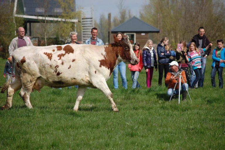 Gekke dansende koeien in de zomer